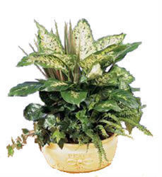 Dish Garden in Cream Ceramic from your Sebring, Florida florist