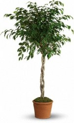 Ficus Tree from your Sebring, Florida florist