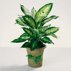 Delightful Diefffenbachia from your Sebring, Florida florist