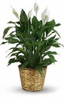 Large Peace Lily (Spathiphyllum) from your Sebring, Florida florist