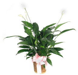 Peace Lily from your Sebring, Florida florist