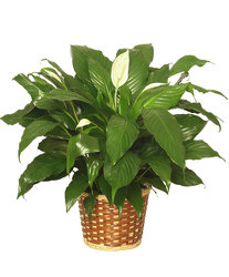 Medium Peace Lily Plant from your Sebring, Florida florist
