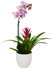 Phalaenopsis Orchid and Bromilad from your Sebring, Florida florist