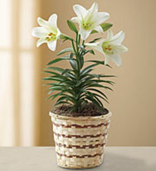 Easter Lily Small Plant from your Sebring, Florida florist